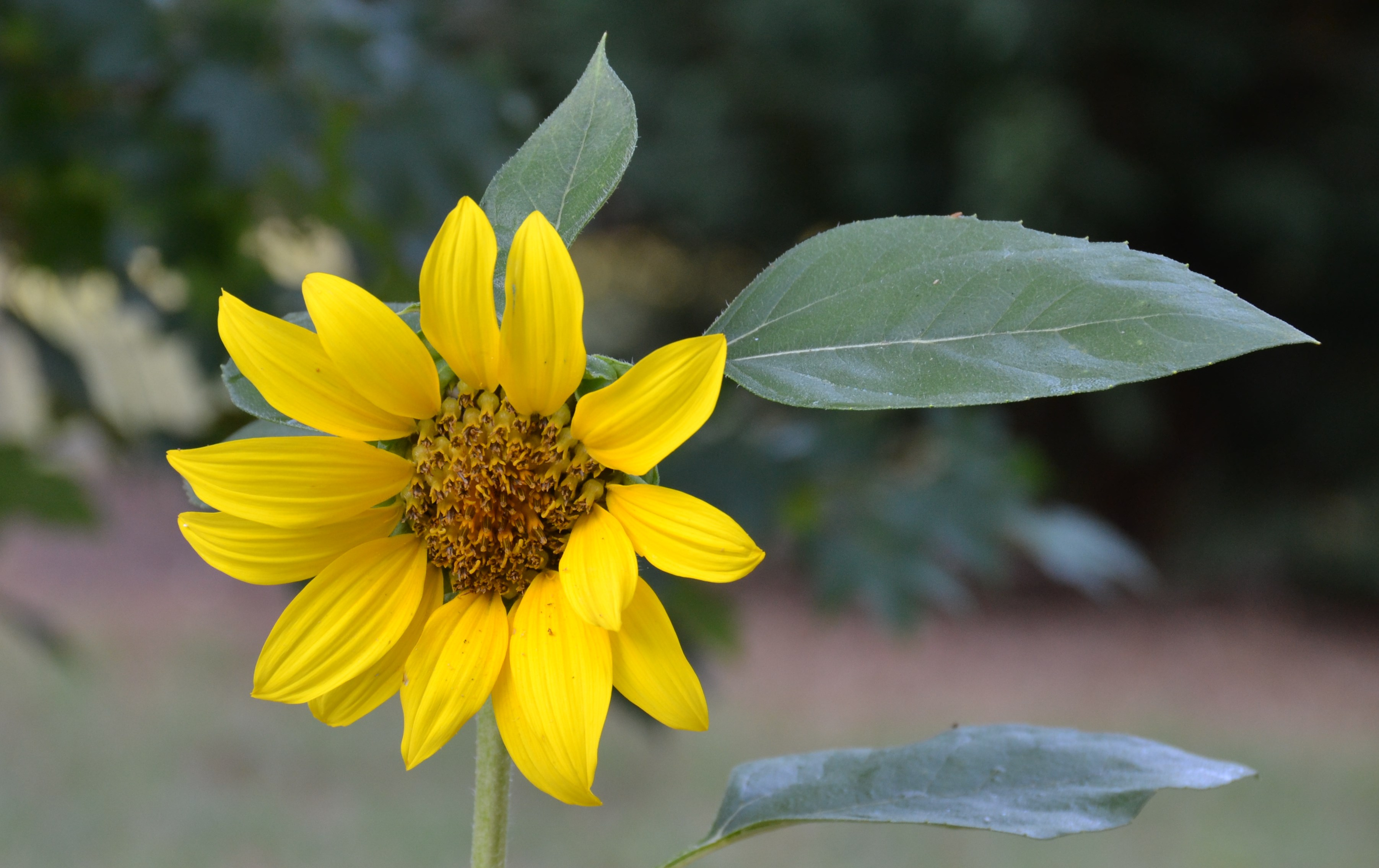 This Is The First Sunflower Of The Year In Our Garden. Apparently The Birds  Missed This Seed That Fell From The Feeder.